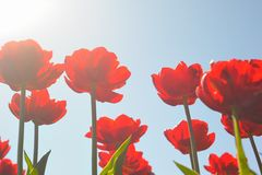Many red tulips Royalty Free Stock Photo