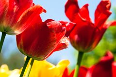 Many red tulips. Many red and yellow tulips Royalty Free Stock Photos