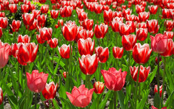 Many red tulips Royalty Free Stock Image