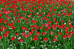 Many red tulips Royalty Free Stock Photography