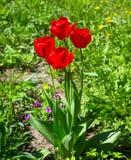 Many red tulips Stock Photos