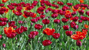 Many red tulips stock video footage
