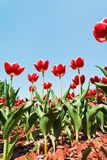 Many red tulips on flower field Royalty Free Stock Image