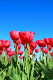 Many red tulips in a flowerbed Stock Photos