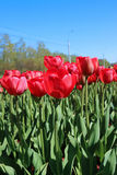 Many red tulips in a flowerbed Royalty Free Stock Photography
