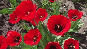 Many red tulips. In the garden at the spring weather stock footage