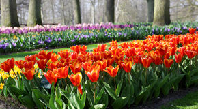 Many red tulips growing under the spring sunshine Royalty Free Stock Photography