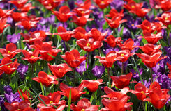 Many red tulips growing under the spring sunshine Stock Photography