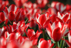 Many red tulips growing under the spring sunshine Royalty Free Stock Images