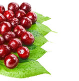 Many red wet cherry fruits. (berries) on green leaves, isolated with copy space design ready Stock Image