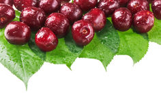 Many red wet cherry fruits on green leaves. Many red wet cherry fruits (berries) on green leaves, isolated with copy space design ready Stock Images