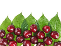 Many red wet cherry fruits on green leaves. Many red wet cherry fruits (berries) on green leaves, with copy space design ready Royalty Free Stock Photos