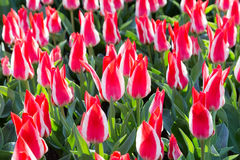 Many red-white tulips Stock Photos