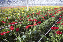 Many red and yellow flowers in dutch greenhouse Stock Photo