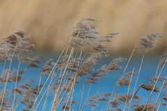Many reed panicles in wind, blue water, reed belt. Many natural reed panicles in wind, blue water, reed belt stock image