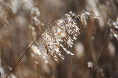 Reeds in field Royalty Free Stock Photography