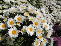 Amazing Daisies Royalty Free Stock Image
