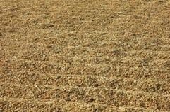 Many Rice Seed Stock Photos