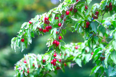 Many rich cornelian cherry Stock Photography