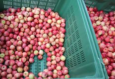 Many ripe APPLES inside the container for sale Stock Photo