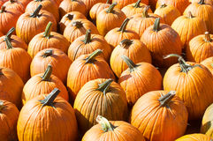 Many ripe big pumpkins texture Stock Photography