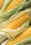 Many ripe corn cobs closeup Royalty Free Stock Photography