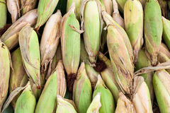 Many ripe corns Royalty Free Stock Photo
