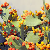Many ripe Indian fig opuntia in the plant Stock Image