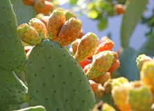 Many ripe Indian fig opuntia or Prickly pear Royalty Free Stock Image