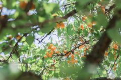 Many ripe orange apricots on tree with sunshine between branches stock photo