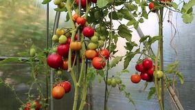 Many of ripe red tomatoes stock video footage