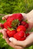 Many ripe strawberries Royalty Free Stock Photography