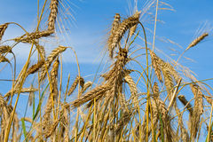 Many ripe wheat ears on blue sky Stock Photos