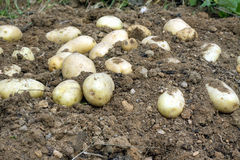 Many ripe young potatoes tubers in ground closeup Royalty Free Stock Images