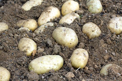 Many ripe young potatoes tubers in ground closeup Stock Image