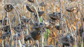Many ripened dry sunflowers, autumn harvest. Heads of dried sunflowers in a field. Many ripened dry sunflowers, autumn harvest. Heads of dried sunflowers in the stock video footage