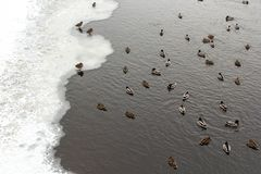 River Mallard duck on the canal. Many river Mallard ducks on ice-free channel in the winter Royalty Free Stock Images
