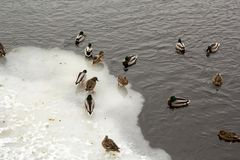 River Mallard duck on the canal. Many river Mallard ducks on ice-free channel in the winter Stock Image