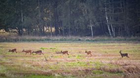 Many roe deers in a row walking over a field Royalty Free Stock Photography