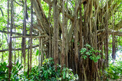 Many Roots on Banyan Tree. Old Banyan Tree in Tropical Rain Forest stock photo