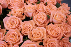 Many roses Stock Photo