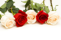 Many roses isolated Stock Images