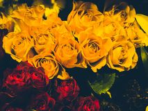 Many roses yellow and red. Stylish valentine compliment, invitation card, macro flower royalty free stock photography