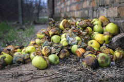 Many rotten apples lie on the ground Stock Image
