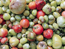 Many of rotten tomatoes. Background of many rotten sick unfit tomatoes Royalty Free Stock Photo