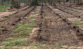 Many row old Tree Stumps caused by deforestation  and burn Stock Photo