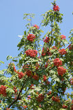 Many rowan-berries fruits hangs on green branches in early autumn closeup Stock Images