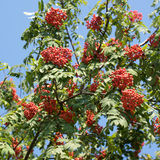 Many rowan-berries fruits hangs on green branches in early autumn Royalty Free Stock Image