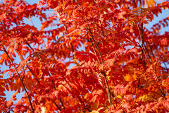 Many rowan tree leaves in red October colors Stock Photography