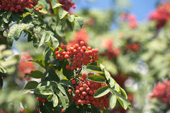 Many rowanberries hangs on green banches closeup Stock Photos